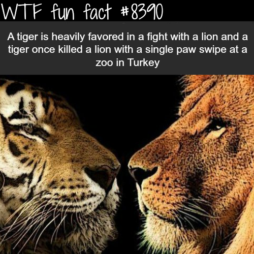 Tiger vs Lion - WTF fun facts