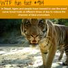 tigers in nepal wtf fun fact