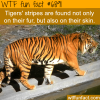 tigers stripes wtf fun fact