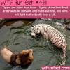 tigers vs lions wtf fun facts