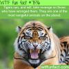 tigers wtf fun facts