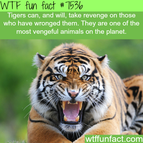 Tigers - WTF fun facts