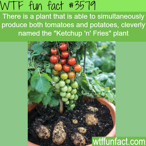 "Tomatoes and potatoes plant named ""Ketchup 'n' Fries"" -  WTF fun facts"