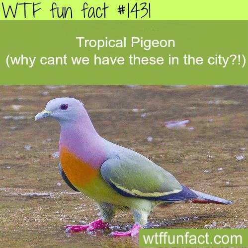 TropicalPigeonprettiestbirds!