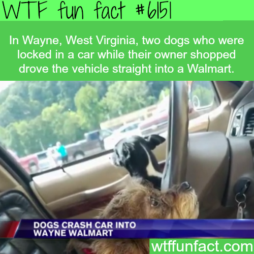 Two dogs drive a car straight into a Walmart - WTF fun facts