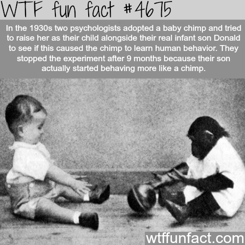 Two psychologists try to raise a monkey as their child - WTF fun facts