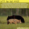 unusual friendship between wolf and bear wtf