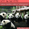 what a group of panda is called wtf fun facts