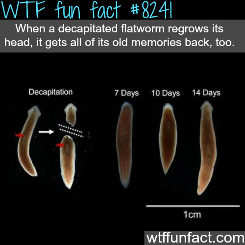 What happens when you decapitated a flatworm - WTF fun facts