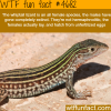 whiptail lizard wtf fun facts