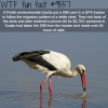 white stork wtf fun fact
