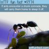 why ants are much like humans wtf fun facts