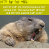why beavers have orange teeth wtf fun facts