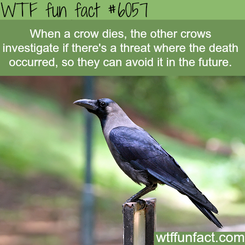 Why crows are one of the smartest animals - WTF fun facts