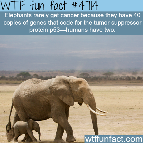 Why elephants rarely get cancer - WTF fun facts