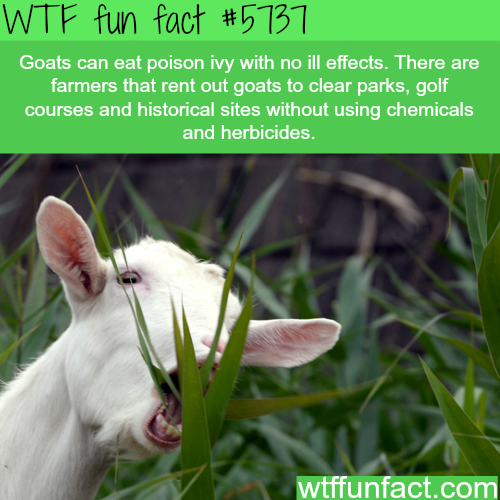 Why goats should be mowing your lawn - WTF fun facts