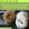 why keeping a lone guinea pig is bad for the animal