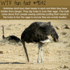 why ostriches bury their head in the sand wtf