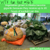 why vegetables grown in alaska become gigantic