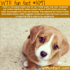 why we cant resist puppy dog eyes wtf fun facts