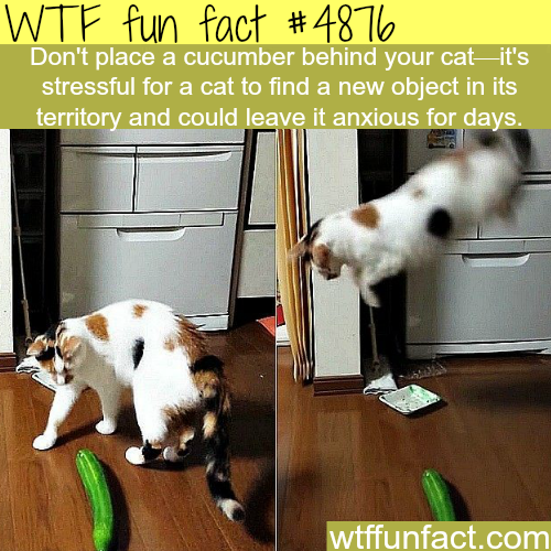 Why you shouldn't place a cucumber behind your cat -