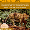 wild cats are attracted to obsession for men by calving