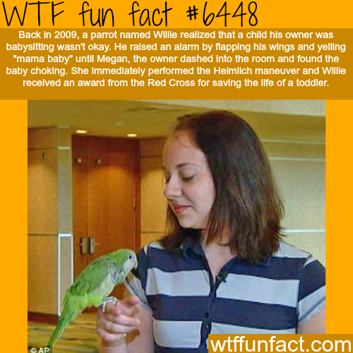 Willie the parrot