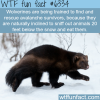 wolverines can help rescue avalanche survivors