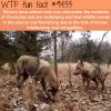 wolves of chernobyl wtf fun fact