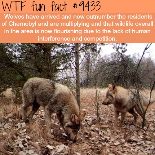 Wolves of Chernobyl - WTF fun fact