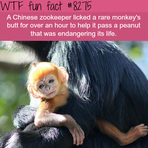 Zookeeper licked a monkey's butt for an hour to save it's life - WTF fun facts