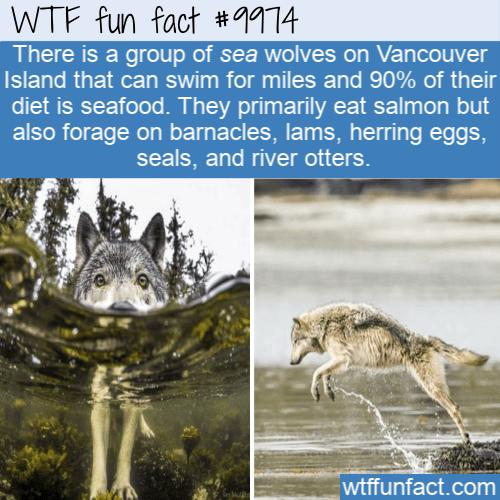 fun animal fact seafood eating wolves(1)