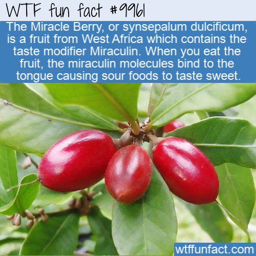 fun fact west african miracle berry