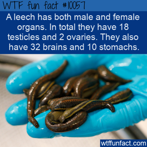 WTF Fun Fact - Leeches Private Parts