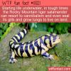 Fun Animal Fact – Tiger Salamander