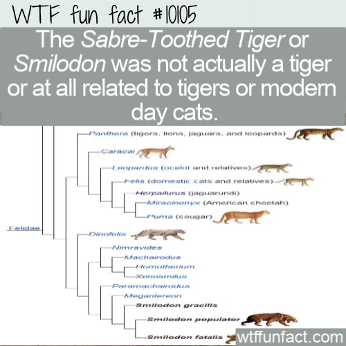 WTF Fun Fact - Sabre-Toothed Tiger