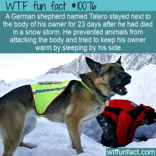 WTF Fun Fact - Talero The German Shepherd