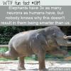 WTF Fun Fact – Elephant Neurons