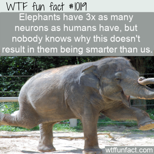 WTF Fun Fact - Elephants Aren't Smarter