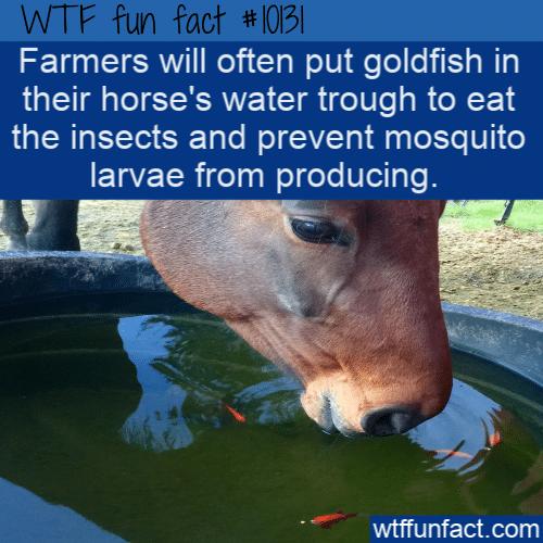 WTF Fun Fact - Goldfish Horse Trough