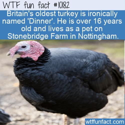 WTF Fun Fact - Turkey Dinner