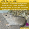 WTF Fun Fact – Lemming Feces Glows