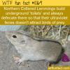 WTF Fun Fact – Lemming Feces Glows