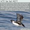 WTF Fun Fact – Ancient Murrelet