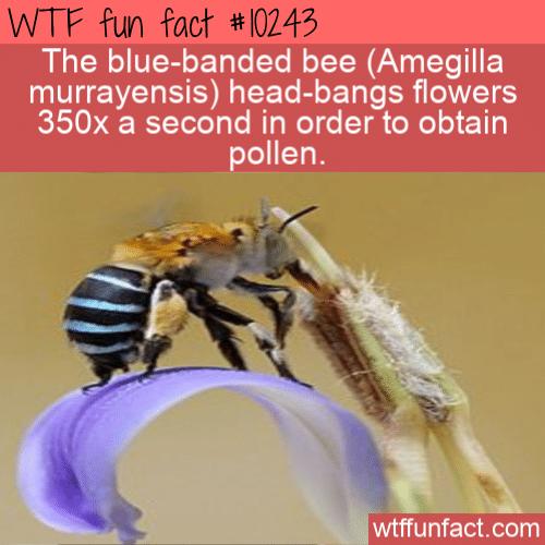 WTF Fun Fact - Blue Banded Headbanging Bee
