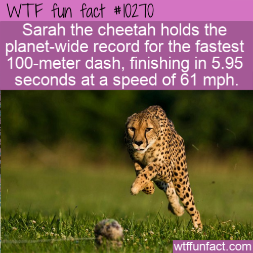 WTF Fun Fact - Fastest Cheetah