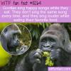 WTF Fun Fact – Gorillas Hum Songs