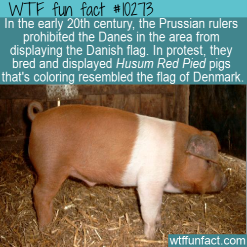 WTF Fun Fact - Husum Red Pied Danish Protest Pig