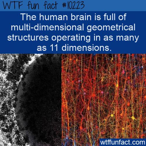 WTF Fun Fact - Multi-dimensional Human Brain