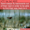 WTF Fun Fact – Backwards Flying Wasps